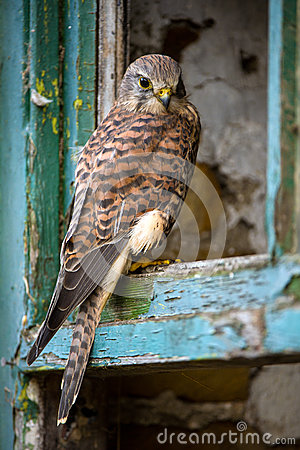Free Kestrel Stock Photos - 35363363