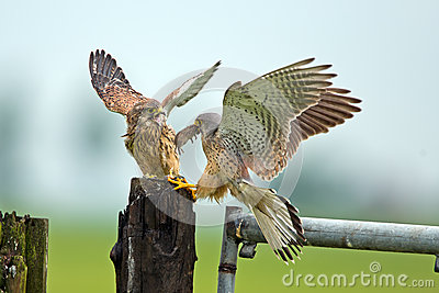 Kestrel and his young