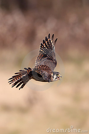 Free Kestrel In Flight Royalty Free Stock Photos - 15843198