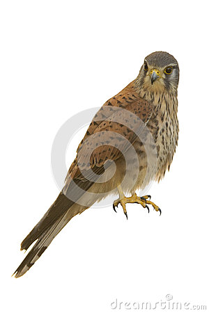 Free Kestrel Isolated Royalty Free Stock Images - 50290019