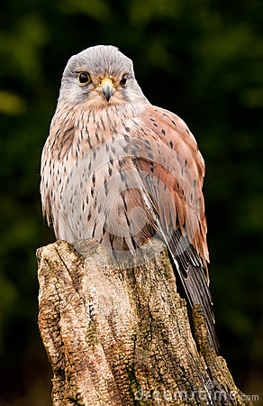 Kestral resting close up