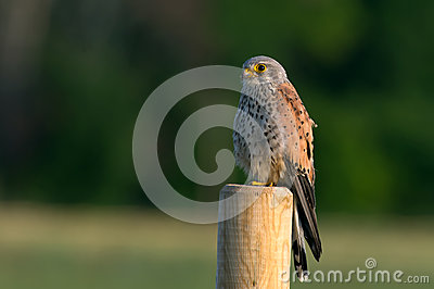 Kestrel s, the male, searching gaze