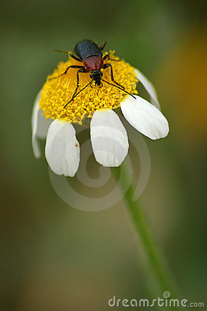 Kever op bloem