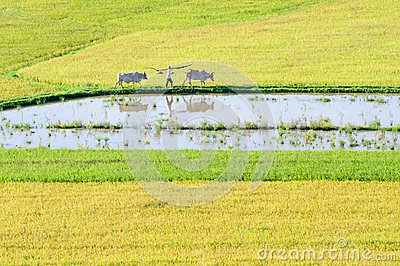 Khmer farmer and cows walking on rice field in the early morning