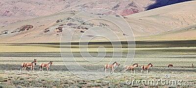 Kiang (Equus kiang)- Tibetan Wild Ass