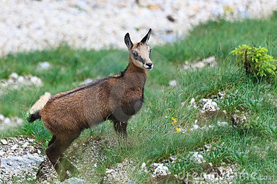 Kid chamois (Rupicapra Carpatica)