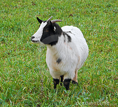 Kid goat in field.
