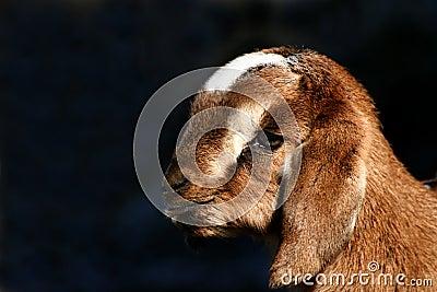 Kid Goat Profiles 3