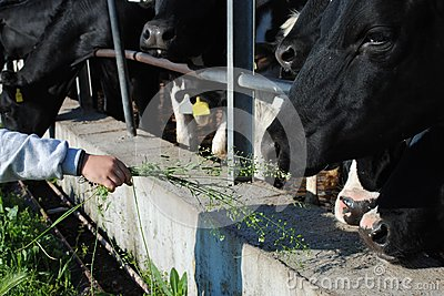 Kid hand feed a cow