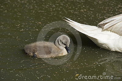 Kid swan swimming