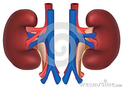 Kidneys of healthy person. Internal organs Vector Illustration