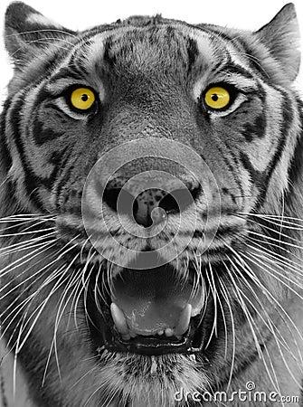 Kierowniczy tygrys