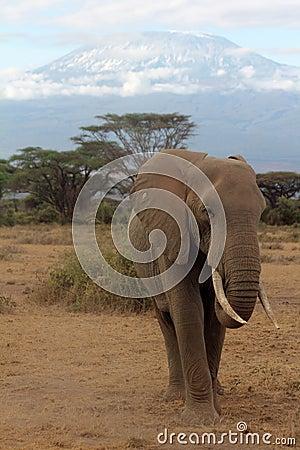 Kilimanjaro Elephant