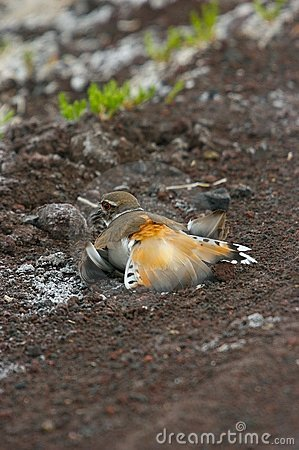Killdeer feigning injury