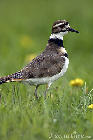 Free Killdeer Profile In The Rain Royalty Free Stock Photography - 736067