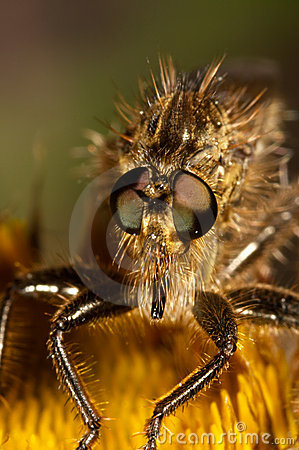 Killer Fly (Lapria flava)