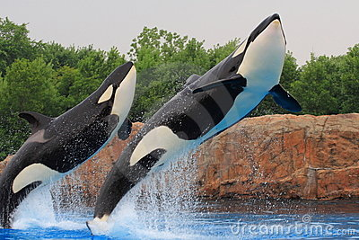 Killer whale Editorial Photography