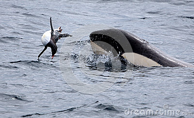 Killer Whale Catching Gentoo Penguin
