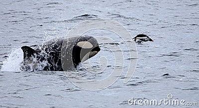 Killer Whale Chasing Gentoo Penguin