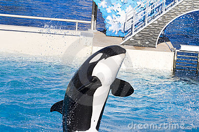 Killer Whale in a friendly act