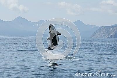 Killer whale high jump
