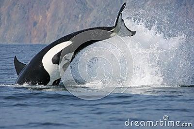 Killer Whale Hunting