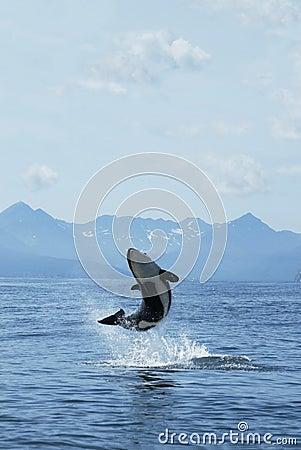 Killer whale joy