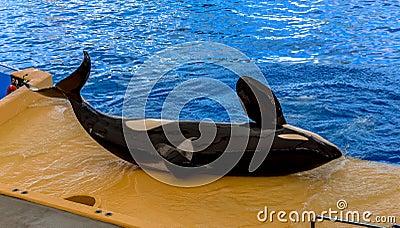 Killer Whale Laid Down
