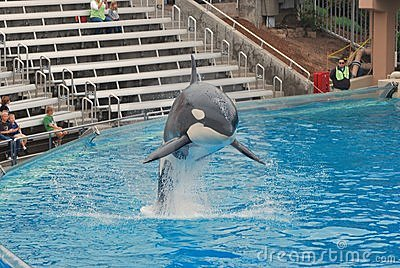 Killer Whale leaps out of tank at Seaworld Editorial Image