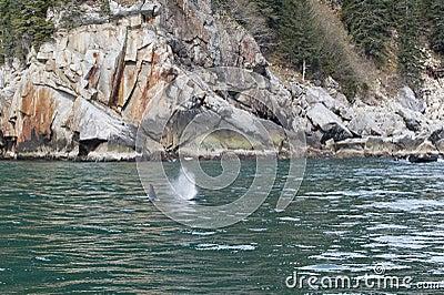 Killer Whale in ocean