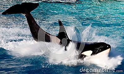 Killer whale portrait