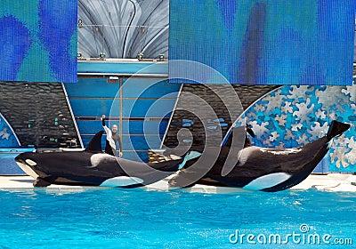Killer whale shamu show in seaworld san diego Editorial Photography