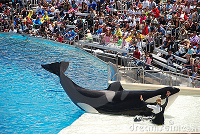 Killer whale shamu show in seaworld san diego Editorial Stock Photo
