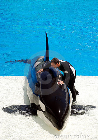 Killer whale shamu show in seaworld san diego Editorial Photography