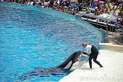 Killer whale shamu show in seaworld san diego Editorial Stock Photo