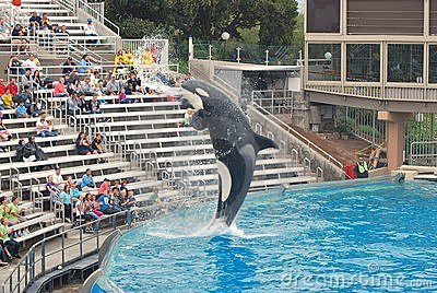 Killer Whale spraying crowd with mouth at Seaworld Editorial Photo