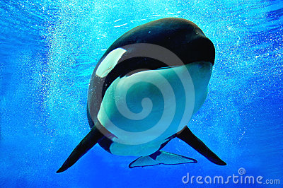 Killer whale swimming