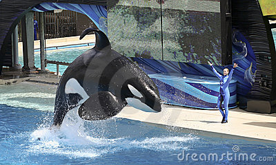 A Killer Whale and Trainer Perform Editorial Photo