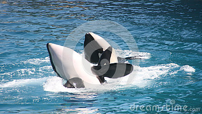Killer whales couple