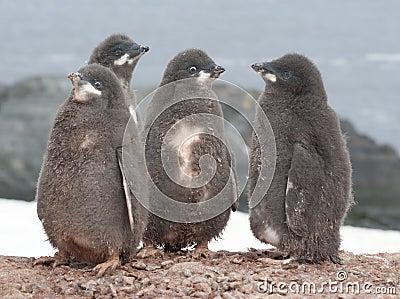 Kindergarten Adelie penguin.