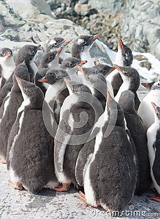 Kindergarten gentoo penguin chicks.