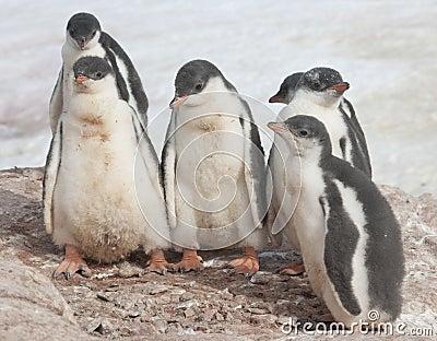 Kindergarten Gentoo penguins.