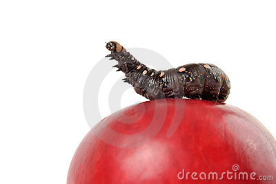 King Of The Apple