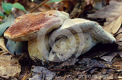 King Bolete Mushrooms