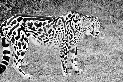 King Cheetah Royalty Free Stock Photos Image 2413398