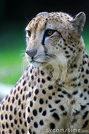 Free King Cheetah Stock Images - 3630964