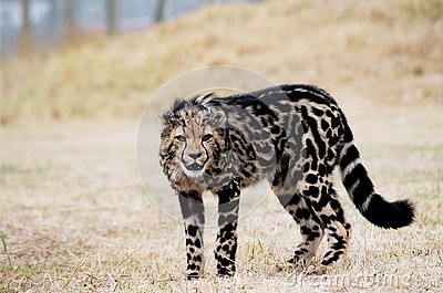 King cheetah cub with rare coat pattern