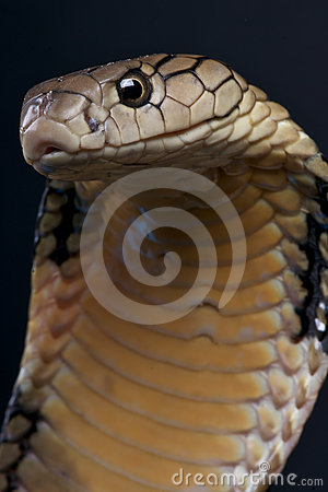 Free King Cobra Royalty Free Stock Photo - 24595545
