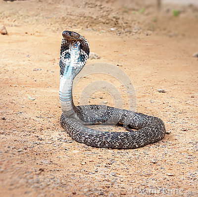 Free King Cobra Snake. Stock Image - 67864411