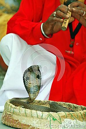 King cobra snake